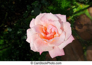 pink rose with raindrops in a garden