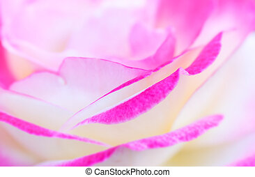Pink rose with shallow depth of field