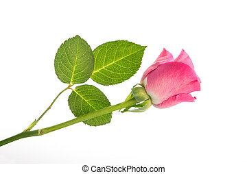 Pink rose with three leaves