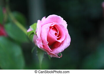Pink Rose with Water Droplets