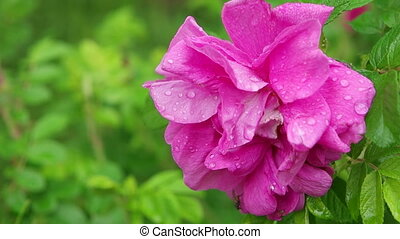 Pink rose with water drops on the petals after rain closeup