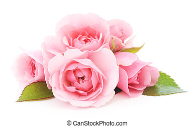 beautiful pink roses on a white background