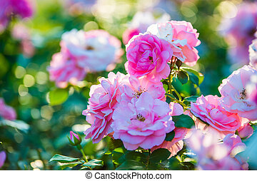 pink roses blossoming