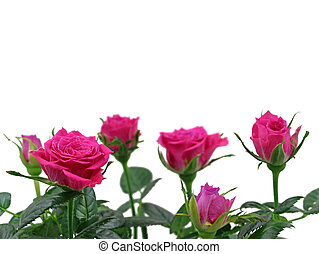 pink roses close up isolated on white background with copy space