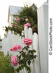 Pink roses growing by picket fence.
