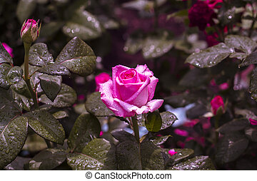 Pink roses in a garden after a rain