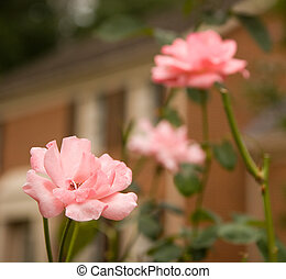 Pink Roses in Front of House