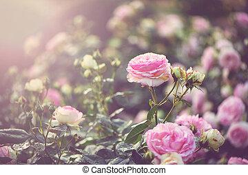 Pink roses in the garden in romantic sunlight.