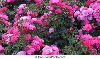 Pink roses in the park, flower garden with roses,...
