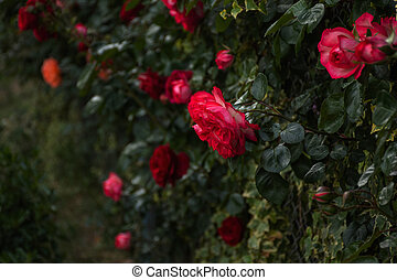 Pink roses on a Bush in selective focus. Beautiful delicate trailing garden roses on a blurred background.