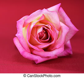 Pink Roses on a red background