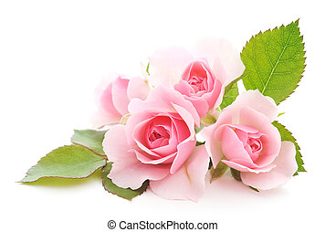 Pink Roses - Three beautiful pink roses on a white...