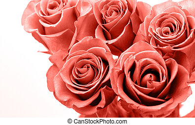 Pink roses white background Valentines Day