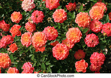 Rose bush - Pink roses with orange middle. Rose bush.
