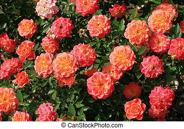 Rose bush - Pink roses with orange middle. Rose bush.