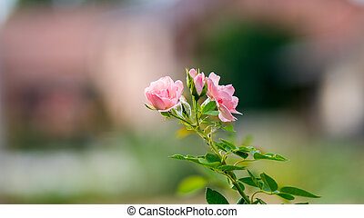 pink roses with stalk and leaves in garden, isolated and focus selected