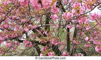 Pink Sakura background. Closeup of blossoming cherry tree...