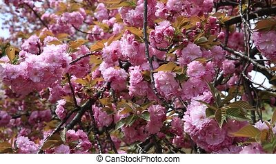 Pink Sakura background. Details of blossoming cherry tree...