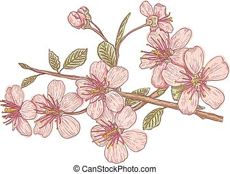 Pink sakura blossom - Vintage vector illustration flowers of...