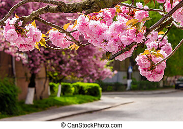 pink sakura blossom on street - pink flowers on the branches...