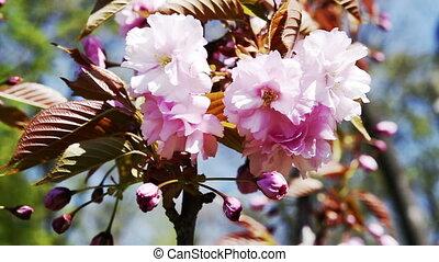 Pink sakura cherry blossoms macro - Branch of pink sakura...