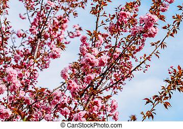 Pink Sakura Cherry Tree Flowers Blossom In Spring