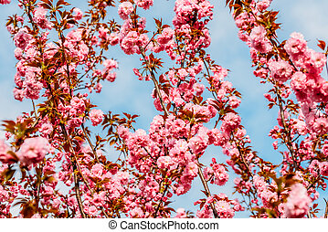 Pink Sakura Cherry Tree Flowers Blossom In Spring