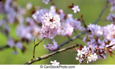 Pink sakura flowers blooming - Pink sakura blossoms moving...