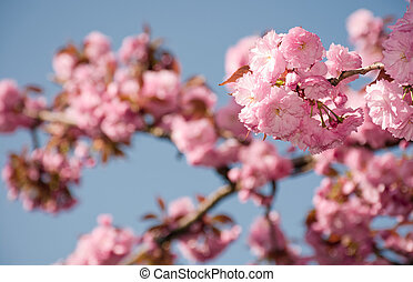 pink sakura flowers on a twig. lovely spring background of...