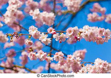 Pink sakura flowers, Sakura flowers blooming.