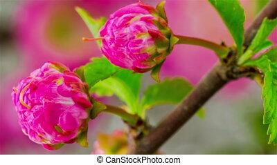 Pink Sakura Tree Flowers.