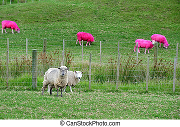 Pink Sheep, New Zealand - Pink sheep are grazing in a green...