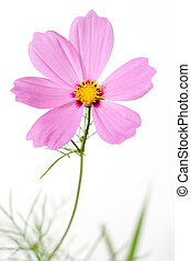 single cosmos flower isolated