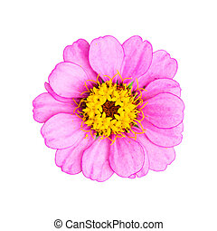 Pink Single Flower  Isolated