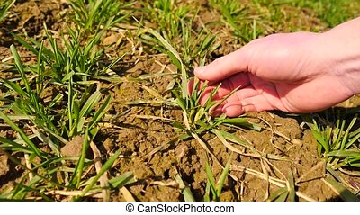 Pink skin hand yanks a small wheat plant from wet humus clay. Man check quality of wheat plant and roots. Hand touching stalk, leaves and roots, put plant back to clay.