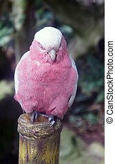 Pink sleepy parrot