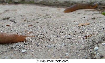 Pink slug - A pink slug