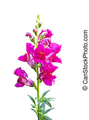 Pink snapdragon flower isolated