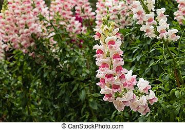 pink snapdragon flowers in bloom