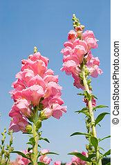 pink Snapdragon flowers under blue sky