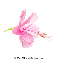 pink soft Hibiscus flower head is isolated on white background,