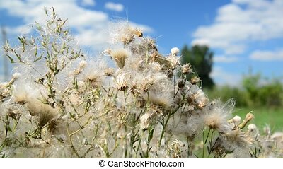 Pink sow thistle with seeds on sunny day - Pink sow thistle...
