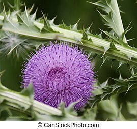 Pink, spiny, silybum marianum, milk thistle, flower with spiny thorns and shny white filament of blown seed know for herbal medicinal properties.