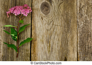 Pink Spirea Flower on a Wooden Rustic Background