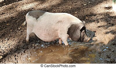 Pink spotted pig bathes in a dirty puddle, agriculture and animal life, dirty hooves and funny dirty nose