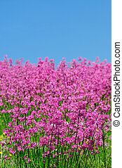 Pink spring flower field with blue