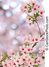 Pink springtime sakura blossoms with a blurred background