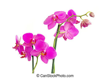 orchids - pink stem of orchids isolated on white