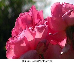pink stieg