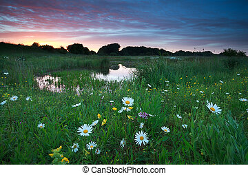 pink summer sunset over chamomile meadow by lake
